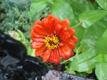 orange zinnia, no relation to orange crush