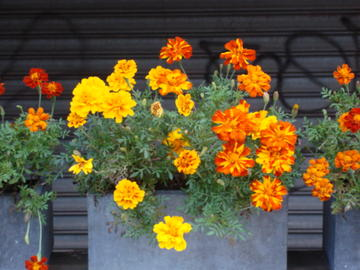 the marigolds of memory