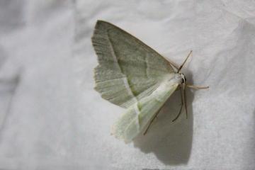 mini mothra