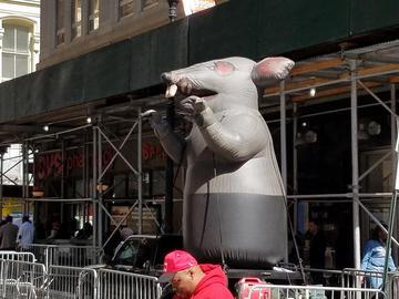 only slightly larger than actual nyc rats