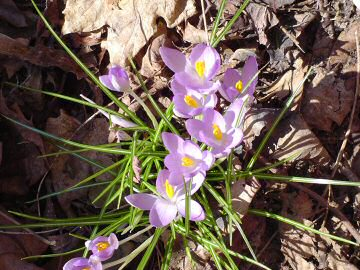 are they crocus, crocuses, or croci?