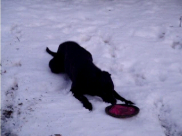 a puppy and his frisbee, in the snow